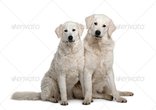 Two Kuvasz dogs, 17 months old, sitting in front of white background - Stock Photo - Images