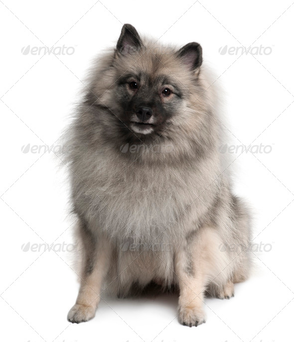Keeshond, 3 Years old, sitting in front of white background - Stock Photo - Images