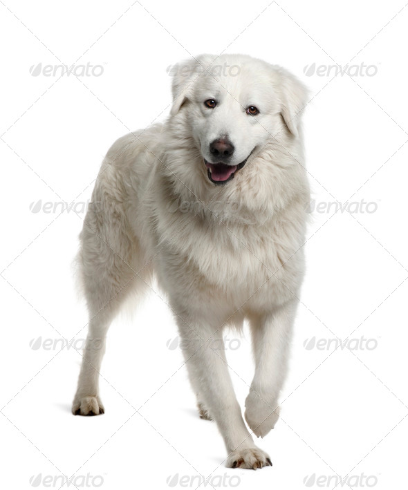 Maremma Sheepdog, 2 Years Old, standing in front of white background - Stock Photo - Images