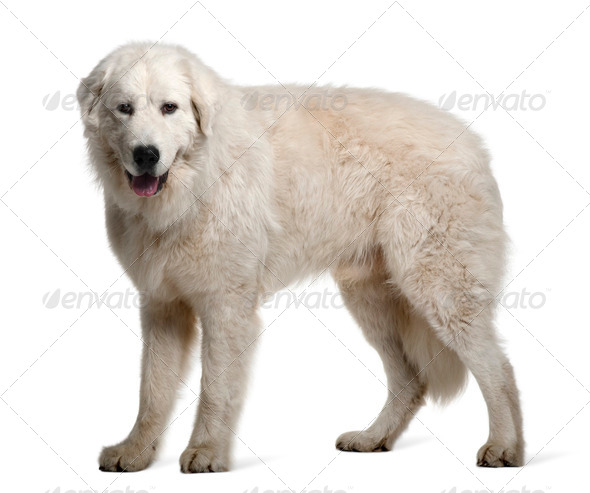 Maremma Sheepdog, 1 Year Old, standing in front of white background - Stock Photo - Images