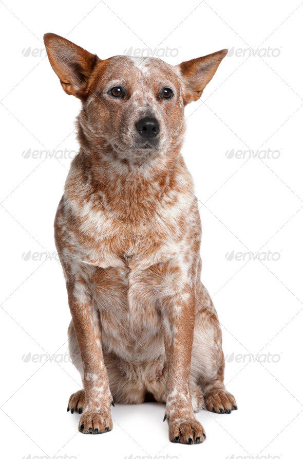 Australian Cattle Dog, 2 Years Old, sitting in front of white background - Stock Photo - Images