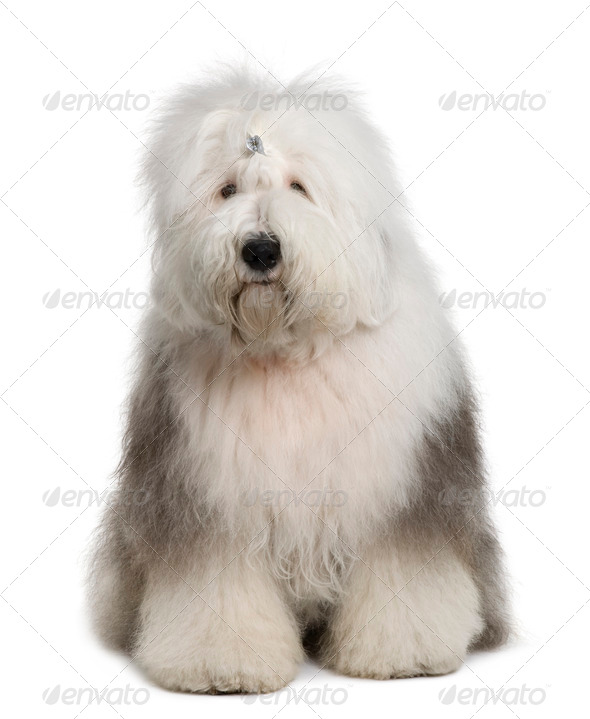 Old English Sheepdog, 1 Year old, sitting in front of white background - Stock Photo - Images
