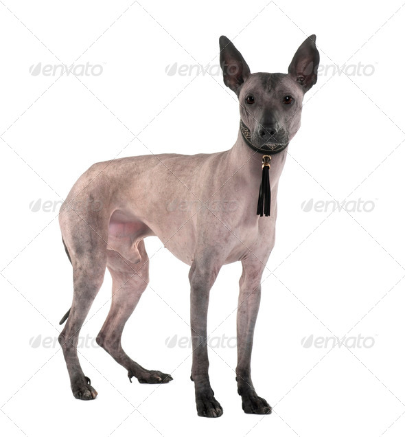 Peruvian Hairless Dog, 3 Years old, standing in front of white background - Stock Photo - Images