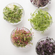 Glass plates with different types of microgreens on white - PhotoDune Item for Sale