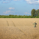 Middle age caucasian farm worker with cell phone at corn field summer time - PhotoDune Item for Sale