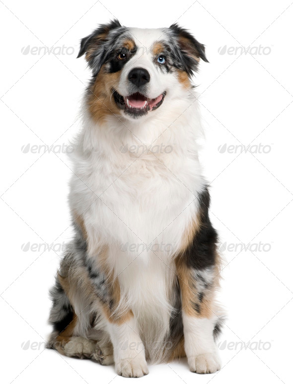 Australian Shepherd dog, 9 months old, sitting in front of white background - Stock Photo - Images