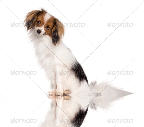 Pappillon dog, 2 years old, sitting in front of white background - Stock Photo - Images