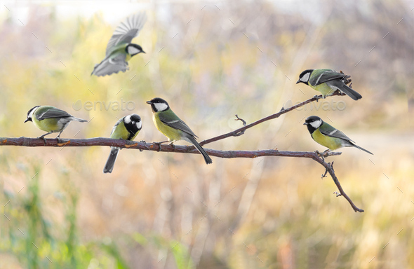 Several Great tit on branch on blurred background - Stock Photo - Images
