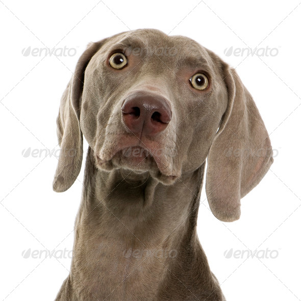 Weimaraner in front of white background, studio shot - Stock Photo - Images