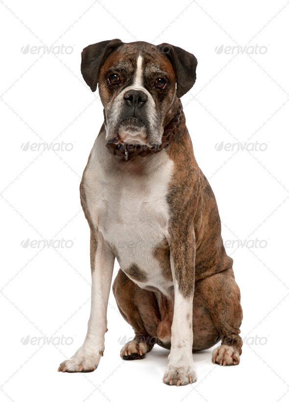 Portrait of Old Boxer, 11 years old, sitting in front of white background, studio shot - Stock Photo - Images