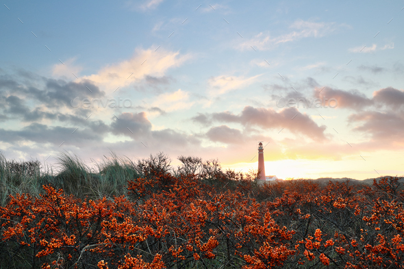 sunrise over lighthouse and seabuckthorn - Stock Photo - Images