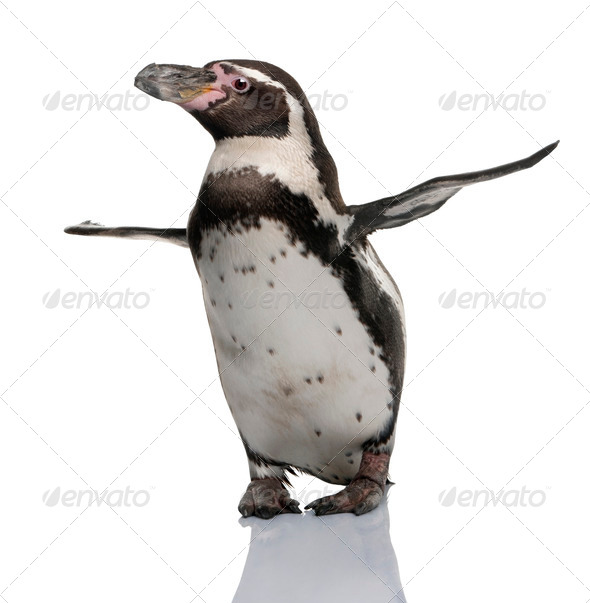 Humboldt Penguin, Spheniscus humboldti, standing in front of white background - Stock Photo - Images