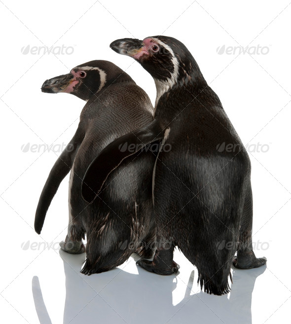 Humboldt Penguins, Spheniscus humboldti, standing in front of white background - Stock Photo - Images