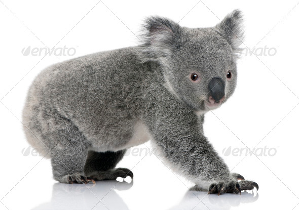 Young koala, Phascolarctos cinereus, 14 months old, in front of white background - Stock Photo - Images