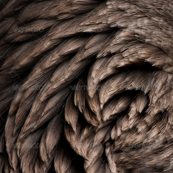 Close-up of Toulouse goose feathers - Stock Photo - Images
