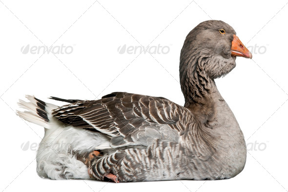 Toulouse goose sitting in front of white background - Stock Photo - Images