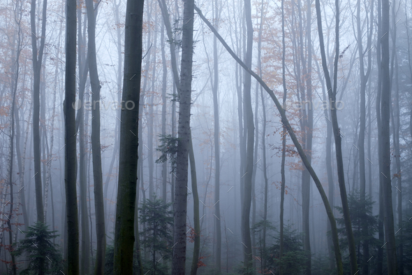 Mysterious dark beech forest in fog - Stock Photo - Images