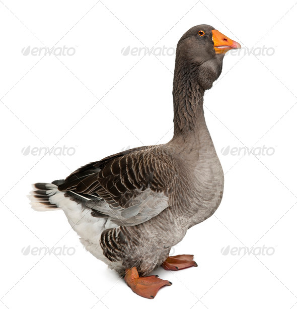 Toulouse goose in front of white background, studio shot - Stock Photo - Images