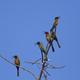 Red-throated bee-eater (Merops bulocki) - PhotoDune Item for Sale