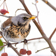 Fieldfare bird sitting on a tree - PhotoDune Item for Sale