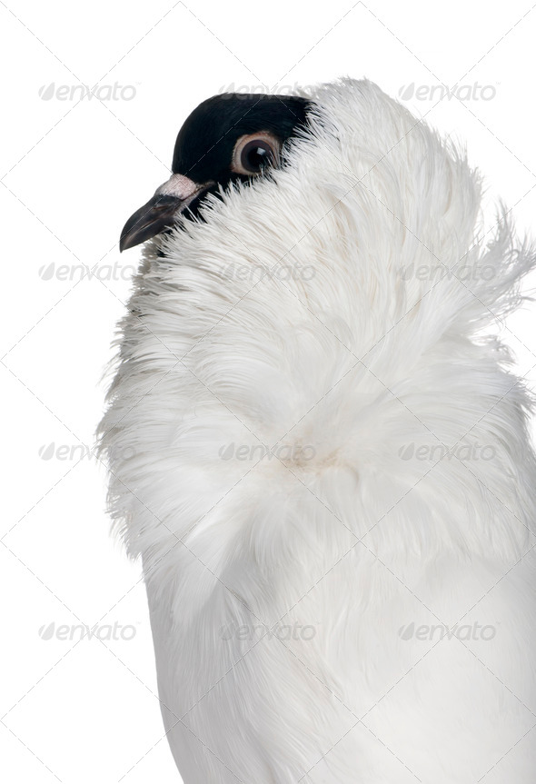 German helmet with feathered feet pigeon in front of white background - Stock Photo - Images