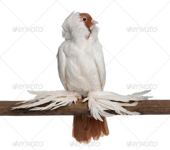 German helmet with feathered feet pigeon perched on stick in front of white background - Stock Photo - Images