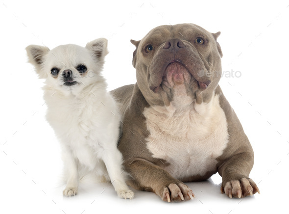 american bully and chihuahua - Stock Photo - Images