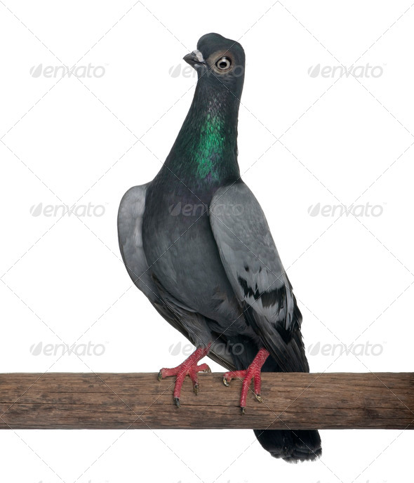 Budapest Highflier pigeon perched on stick in front of white background - Stock Photo - Images