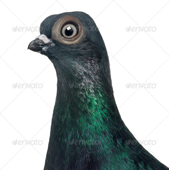 Budapest Highflier pigeon in front of white background - Stock Photo - Images