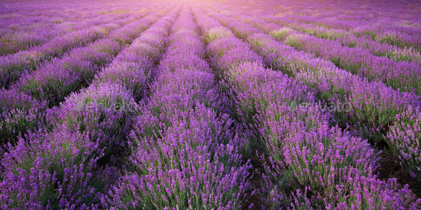 Meadow of lavender texture. - Stock Photo - Images