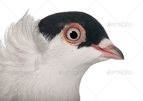 Polish helmet or Kryska Polska, a breed of fancy pigeon, in front of white background - Stock Photo - Images