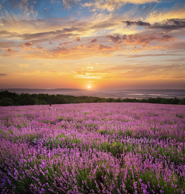 Meadow of lavender. - Stock Photo - Images