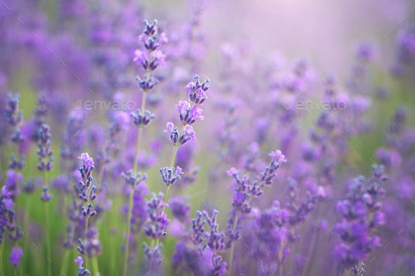 Lavender closeup. Composition of nature, - Stock Photo - Images