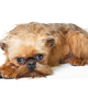 Sad puppy of the Brussels Griffon - PhotoDune Item for Sale