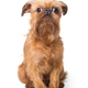 Red puppy of the Brussels Griffon - PhotoDune Item for Sale