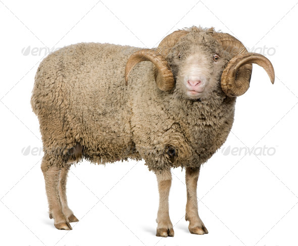 Arles Merino sheep, ram, 5 years old, standing in front of white background - Stock Photo - Images