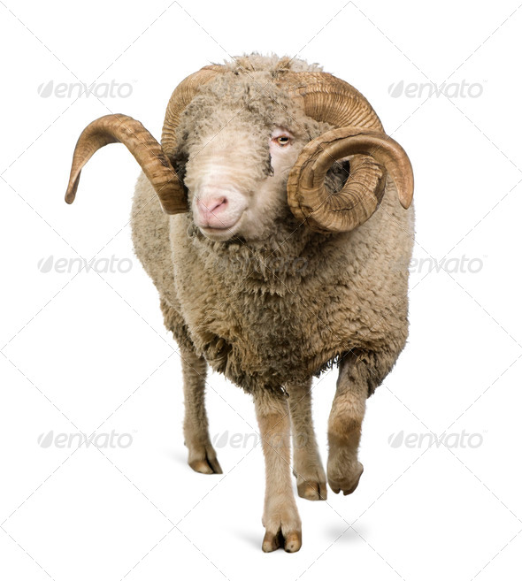 Arles Merino sheep, ram, 5 years old, walking in front of white background - Stock Photo - Images