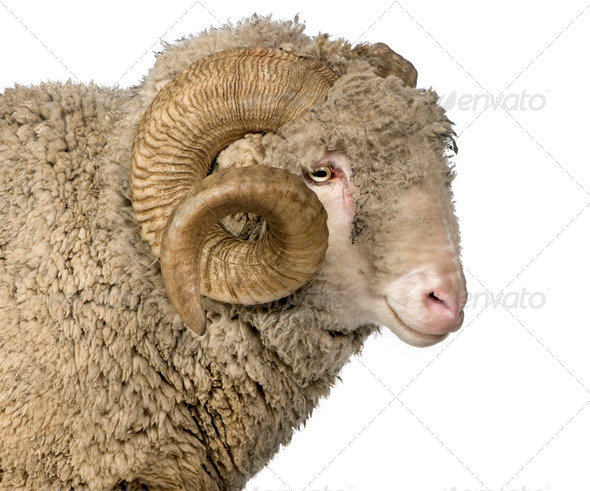 Arles Merino sheep, ram, 5 years old, in front of white background - Stock Photo - Images