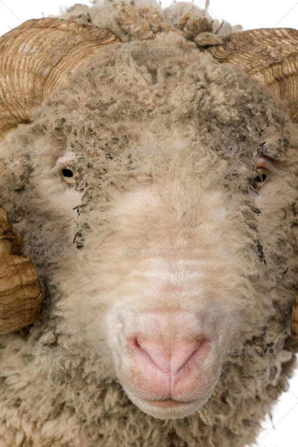 Close-up of Arles Merino sheep, ram, 5 years old, in front of white background - Stock Photo - Images