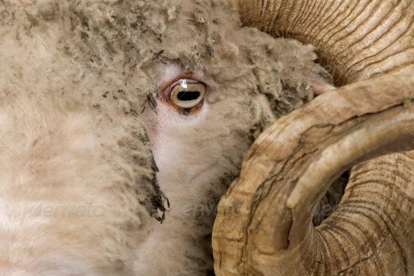 Close-up of Arles Merino sheep, ram, 5 years old - Stock Photo - Images