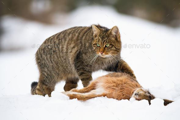 European wildcat, felis silvestris, with a kill of dead rabbit - Stock Photo - Images