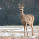 Cute roe deer doe standing on a meadow and facing camera with copy space - PhotoDune Item for Sale
