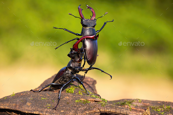 Strong stag beetle lifting its rival over head in fierce fight in nature - Stock Photo - Images