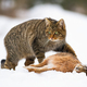 European wildcat, felis silvestris, with a kill of dead rabbit - PhotoDune Item for Sale