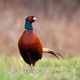 Front view of common pheasant male cock in springtime - PhotoDune Item for Sale