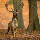 Fallow deer stag with big antlers looking into camera in forest - PhotoDune Item for Sale