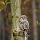 Vertical composition of wild ural owl in woodland with copy space - PhotoDune Item for Sale