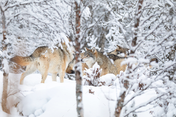 Wolves in wolf pack in the forest a snowy day at winter - Stock Photo - Images