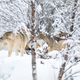 Wolves in wolf pack in the forest a snowy day at winter - PhotoDune Item for Sale