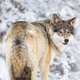 Focused wolf in pack looking backward in cold winter forest - PhotoDune Item for Sale
